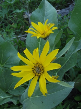 arrow-leaf-balsamroot